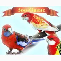 Розелла - птенцы выкормыши