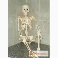 Скелет Артёма из серии Собери и познай человеческое тело.