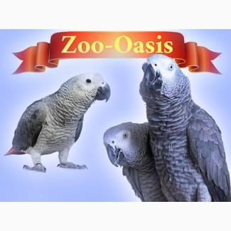 Жако краснохвостый - птенцы выкормыши